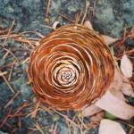 Autumnal Pinecone (photograph)