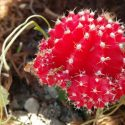 Red blooming cactus (photograph)