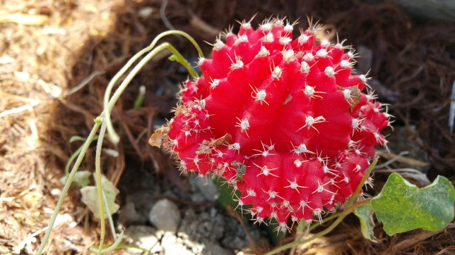 A red cactus bloom.