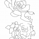 Three Succulents – WIP / drawing