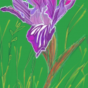 Purple Iris (Digital)